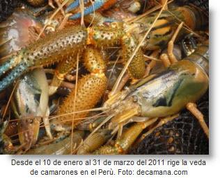 Hay veda de camarones en Perú hasta 31 de marzo 2011