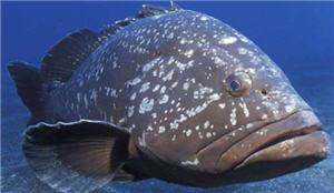 El mero, pez, cebiche, comida peruana - noticias