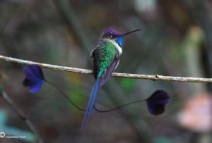 colibrí maravilloso en Amazonas