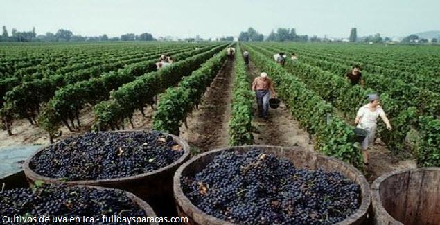 tierras de cultivo del vino en Ica