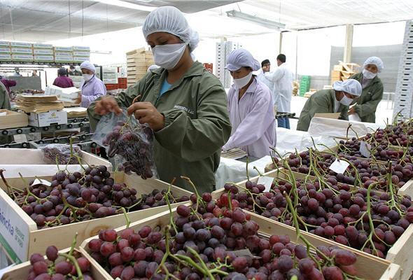 exportacion-uvas-frescas-peru