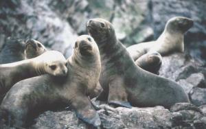 Lobos marinos de Paracas