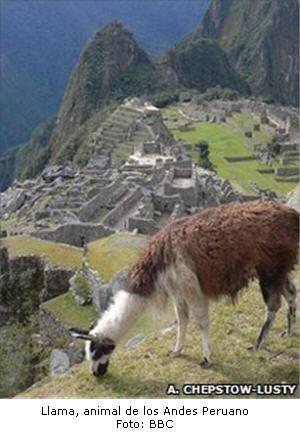 Llama, animal de los Andes Peruanos