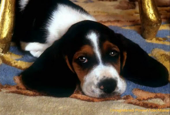 Requisitos para viajar con mascotas a Perú, en cabina de LATAM (imagen perro de orejas grandes)