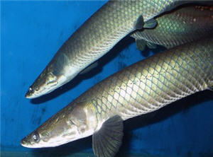 Paiche de la selva peruana, pez grande de la selva - noticias