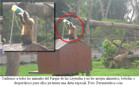 Foto de monito machín negro tomando gaseosa en el Parque de las Leyendas