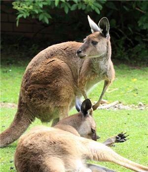 canguros, marsupiales, parque de las leyendas - noticias
