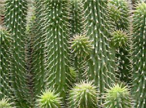 cactus hoddia, planta - noticias