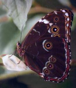Mariposa en Pilpintuwasi en Loreto