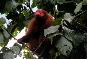 Mono en Pilpintuwasi en Loreto