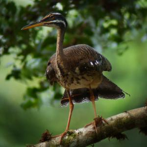 Una de las especies de aves en la Reserva Nacional Tambopata en San Martín
