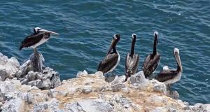 Aves en la Isla Foca, en Piura