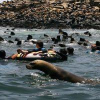 Paseos en lancha por las Islas Palomino en el Callao para nadar con lobos marinos