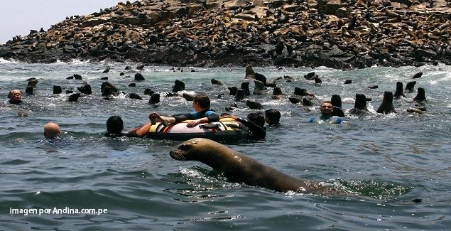 Grupo de lobos marinos nadando cerca de turistas en las Islas Palomino