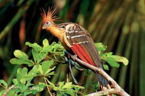 ave los shanchos en peru