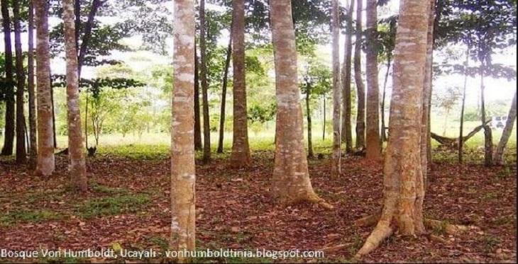 Conozca el Bosque Nacional Alexander von Humboldt en Ucayali