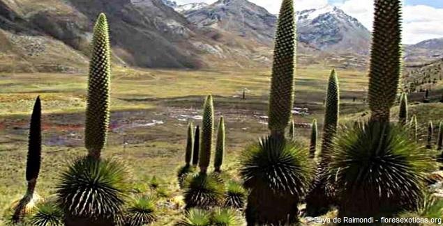 La Puya de Raimondi en los Andes