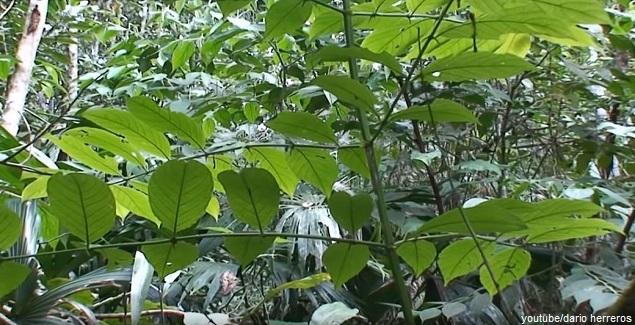 Uña de Gato, la planta milagrosa de la selva amazónica