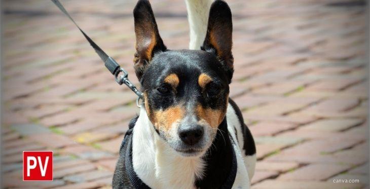 Imagen de un perro pequeño con arnés, ilustrando el post sobre accesorios para viajar con perros en coche.