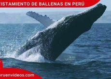 Avistamiento de ballenas en Perú